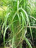Chinagras Riesen Chinaschilf Miscanthus sinensis giganteus im 5 Liter Pflanzcontainer