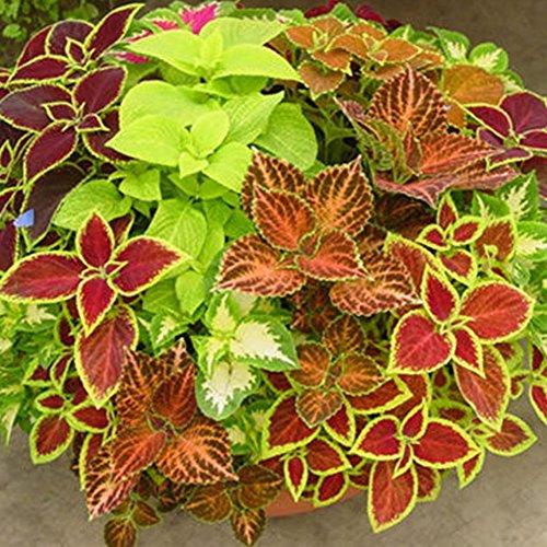 Coloré Feuille Graines Fleurs Ornemental Herbe Arc-En-Mélange Couleur Feuillage Paysage Jardin Décor Vert Organique Plante Bonsaï