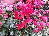 Fiore - Ciclamino - Gigante Fioritura Mix - 25 Semi - Confezione Grande