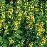 Foerster-Staude Felberich im 5er-Set gelb blühend Beetstaude winterhart Lysimachia punctata im 0,5 Liter Topf 5 Pflanzen