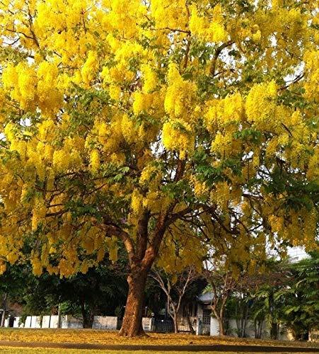 Portal Cool 50 Samen Golden Shower Cassia Fistula Tree Seed, Goldrauschgelb, Blumensamen