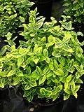 immergrüne Kriechspindel Euonymus fortunei Emerald Gold 15 cm hoch im Topf 10 Stck.
