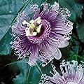 Passionsblume Frederick von Meingartenshop - Du und dein Garten