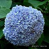 Hortensie, Blaue Bauernhortensie 4 L Co