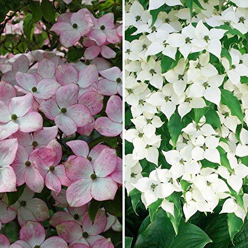 2 Pflanzen (Gehölz-Set Blütenhartriegel, 2 Pflanzen im Set, je im 5 l Topf)