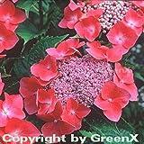 Bauernhortensie Kardinal 30-40cm - Hydrangea macrophylla