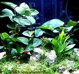 Mühlan - Wasserpflanzensortiment für Barschliebhaber