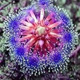 Bonsai Sonnentau Samen Blau Zauberin Fleisch fressende Anlage Tisch Topf Drosera peltata Samen Strahlenschutz 10 Samen