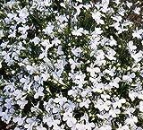 SeeKay Lobelia Cascade White - Appx 6,000 seeds