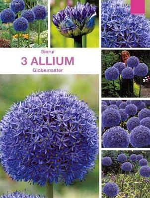 """Allium """" Globemaster """" 3 Zw.lose von MOSSELMAN auf Du und dein Garten"""