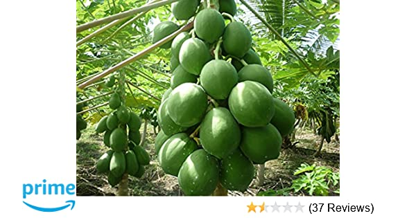Go Green Taiwan Produce Papaya Red Lady Hybrid 15 Seeds 1 Pack Of