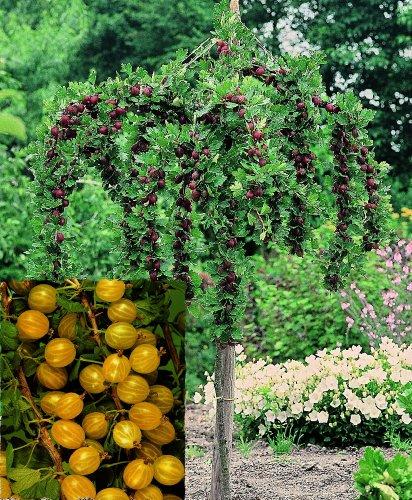 Stachelbeer-Stamm Hinnonmäki® gelb, 1 Pflanze