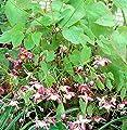 Elfenblume rot - Epimedium rubrum von Baumschule - Du und dein Garten
