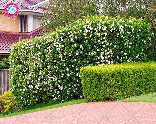 20PCS Murraya Paniculata Samen Echte orange Jasmin Strauch mit duftenden weißen Blumensamen Stauden Kletterpflanze für Garten