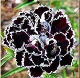 200 PC 16 colores disponibles clavel Semillas de flores perennes en maceta Las plantas de jardín de flores Semillas Dianthus caryophyllus