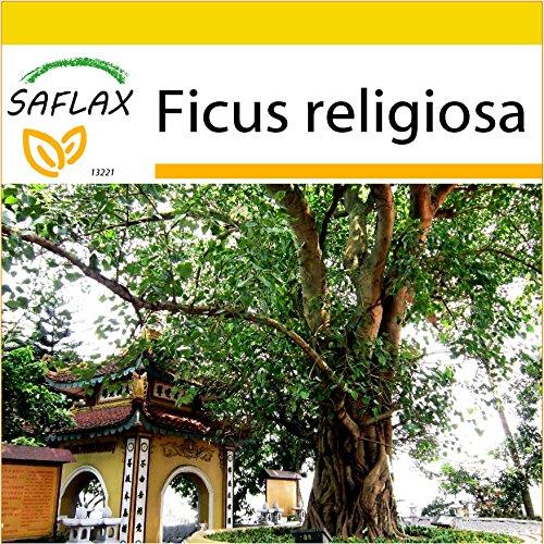 SAFLAX - Anzucht Set - Buddha-Feige / Bodhi-Baum - 100 Samen - Ficus religiosa