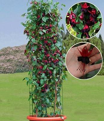 BALDUR-Garten Kletter-Sortiment Fuchsie & Passionsblume, 3 Pflanzen von Baldur-Garten auf Du und dein Garten
