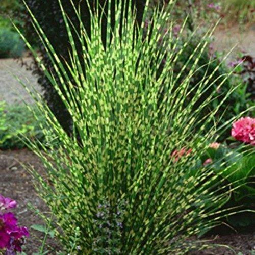 Gräser Carex Evergold