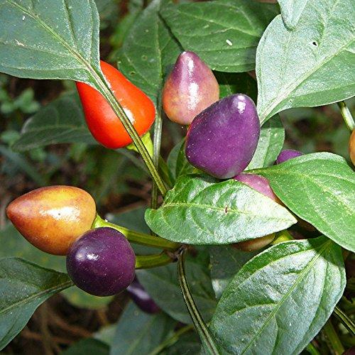 Multi Farbe Pod Pfeffermühle Samen, essbar, Ornament, Mini Home Garden Pflanze Gemüse Samen