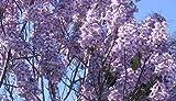 Paulownia -Elongata- 250 Samen -Winterhart/Robust & Schnell Wachsend-