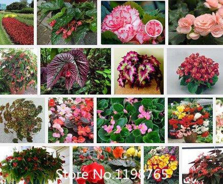 Promozione Superior Begonia semi promozione. 24tipi 300PCS semi di fiori Novel Seed