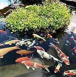 Teichpflanzen Schwimmpflanzen für Teichbepflanzung – Teich, Gartenteich durch winterharte Wasserpflanzen, Pflanzen mit Bioland Siegel verschönern