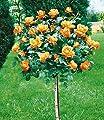 BALDUR-Garten Rosen-Stämmchen 'Maja Oetker®', 1 Rosenstamm von Baldur-Garten auf Du und dein Garten