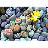 BEE Garden Pebble Lithops Living Stones Succulent Cactus Seeds - Pack of 50 Seeds