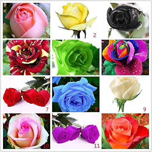 200pcs-arcobaleno-rosa-semina-bella-rosa-semi-bonsai-piante-semi-per-la-casa-e-il-giardino