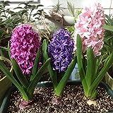 Loveble 300 Pcs Mélanger Les Ampoules de Jacinthe Belles Plantes Ornementales de Décoration de Jardin