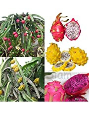 Siam Garden Pitaya Dragon Fruit Red White and Yellow Mix Live Plants Set of 3