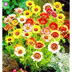 Shopmeeko 30 UNIDS Mixed Color Daisy Planta Precioso Rainbow Gardem Bonsai Margaritas Brotes Naturales Jardãn de DIY En Maceta Flores Planta