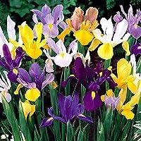 Bulbi da Fiore ALTA QUALITA' per fioritura PRIMAVERILE (30, Iris Hollandica MIX)