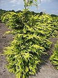 Chamaecyparis lawsoniana 'Lane' - gelbe Scheinzypresse 'Lane' 40-50