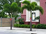 Azalea Garden Rare Foxtail Palm Tree Live Plant (Wodyetia bifurcata) Foliage tree 1 Plant in Polybag