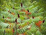 Essigbaum Rhus typhina Pflanze 20cm Hirschkolbensumach tolle Laubfärbung selten