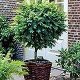 Dominik Blumen und Pflanzen, Kugelakazie auf Stamm, 1 Pflanze