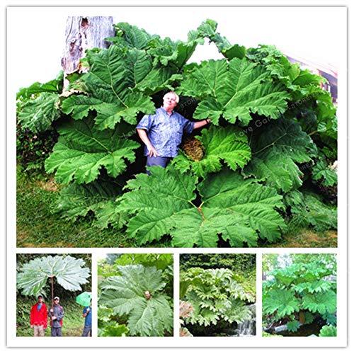 Pinkdose Mammutblatt Pflanze auch genannt Riesen Rhabarber Pflanze wächst im Halbschatten Großer Blätter im Freien Pflanze im Garten 50 PC/Beutel