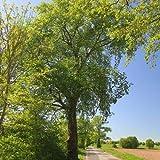 Qulista Samenhaus - 10pcs Rarität Europäische Weißulme frosthart Baumsamen Blumensamen winterhart mehrjährig in Bruch- und Auenwäldern
