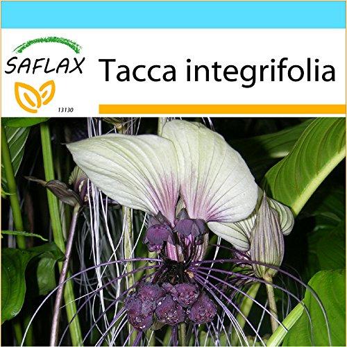 SAFLAX - Geschenk Set - Weiße Fledermausblume - 10 Samen - Tacca integrifolia