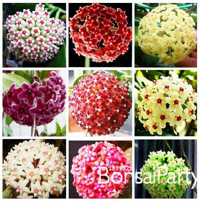 Sale! Hoya Samen, Topf Samen hoya carnosa Blumensamen Hausgarten, 100 PC / Los, # UGYUX5