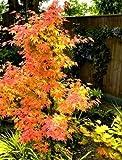 Future Exotics Acer palmatum Atropurpureum Orange Dream Fächer Ahorn
