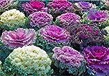 Semi di fiore raro cavolo ornamentale Mix da agricoltura biologica
