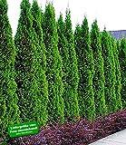 BALDUR-Garten Thuja occidentalis Smaragd Lebensbaum, 1 Pflanze Thujahecken winterhart