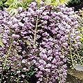 Glyzinie rosa - 1 strauch von Meingartenshop auf Du und dein Garten