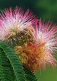 """TROPICA - Schlafbaum / Pink (Albizzia julibrissin """"Rosea"""" var. Ernest Wilson) - 50 Samen"""