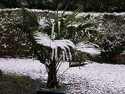 Winterharte Hanfpalme **Trachycarpus fortunei** 10 Samen ***Bis -20 Crad Frosthart*** von Samenchilishop bei Du und dein Garten