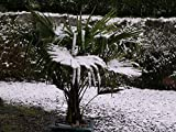 Winterharte Hanfpalme **Trachycarpus fortunei** 10 Samen ***Bis -20 Crad Frosthart***