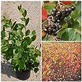 Aronia, Sorte Aron, schwarze Apfelbeere, dänische Sorte ca. 60-80 cm, Pflanze im 3 Liter Topf von Grüner Garten Shop - Du und dein Garten