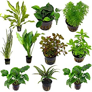 Live Tropical Aquarium Fish Tank Aquatic Plants For Sale – Freshwater Plants